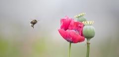 ADV_Bee-and-Poppy_Neil-McGuff